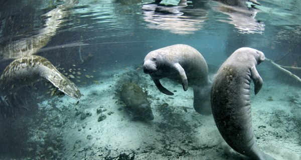 Manatee Encounter at Cozumel Image