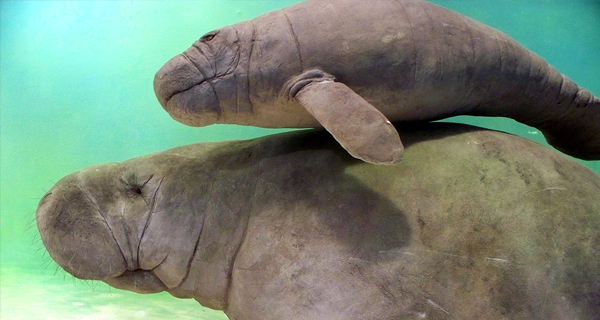Manatee Encounter at Cozumel Image Gallery