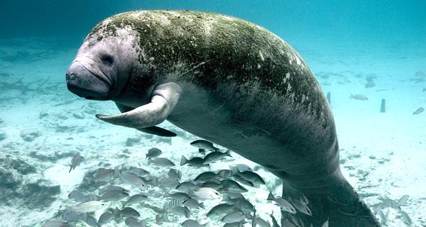 Sea Life Circle Manatees  Puerto Aventuras Image Gallery