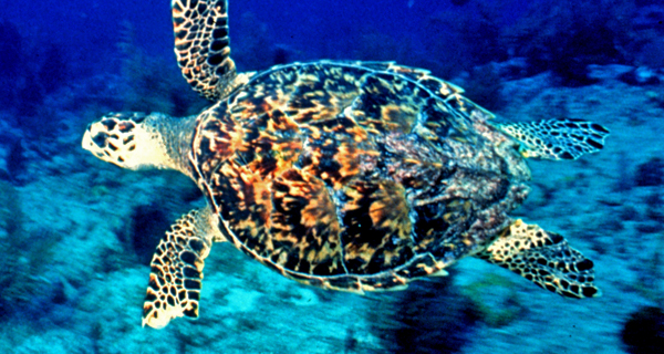 Wild Sea Turtle Snorkel and Yal Ku Lagoon Image